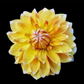 by Mohsin Raza - Flowers Single Flower (  )