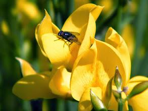 Photo: Fleurs de genêt - mai - Lubéron (04)