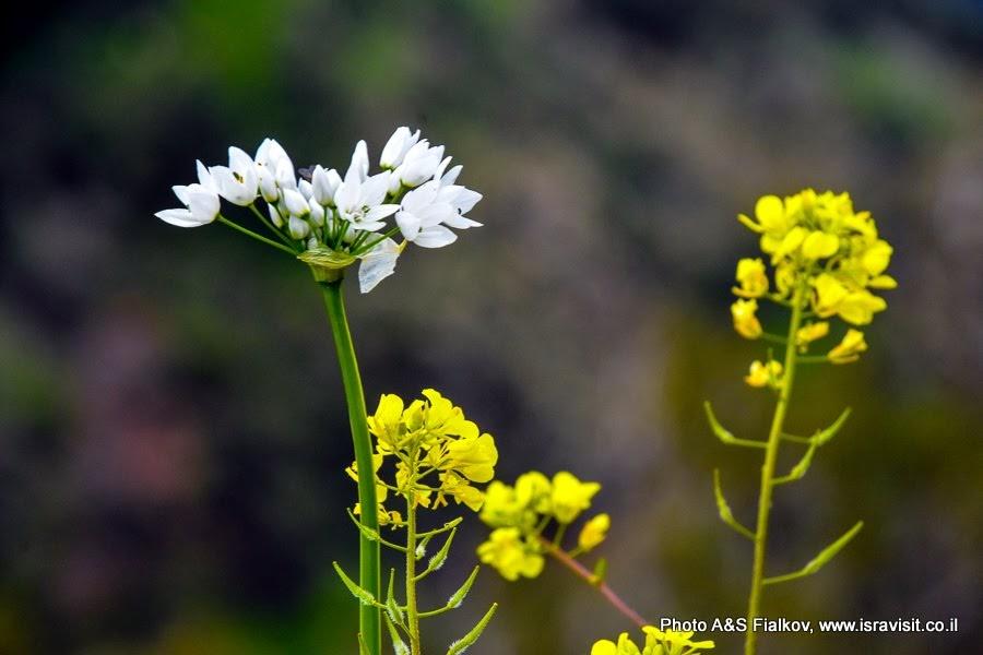 Цветы Израиля. Дикий чеснок (белый) и горчица (жёлтая).