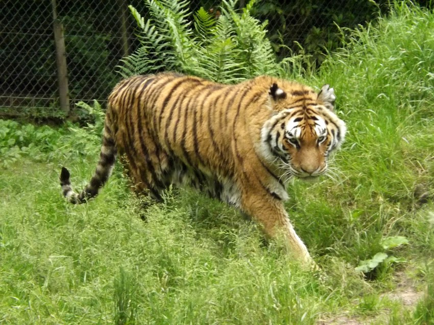 Tigre de Sibérie, Jurques - Tous droits réservés