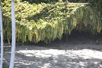 Photo: Day 166 - Between  Samarqand and the Border- Tobacco Drying