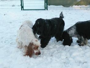 Photo: Nos cockers découvrent les joies de la neige.