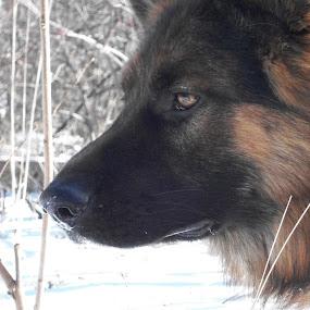 Remus by Cindy Swinehart - Animals - Dogs Portraits ( winter, snow, dog, german shepherd )