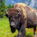 Buffalo Sounds icon