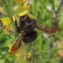 Carpenter bee, Abeja carpintera