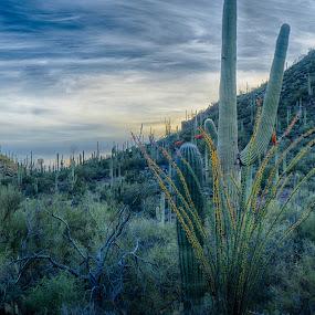 Ocitillo by Charlie Alolkoy - Landscapes Deserts ( desert, sunset, sunrise )