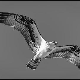 Osprey by Dave Lipchen - Black & White Animals ( osprey )