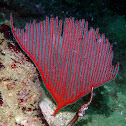 Harp Coral