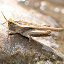 Awl-shaped Pygmy Grasshopper