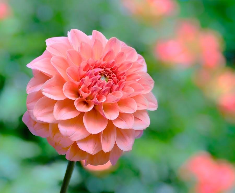 Pink Dahlia #4 by Jim Downey - Flowers Single Flower ( pink, green, dahlia, petals, soft )