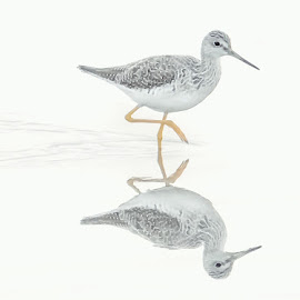 Delicate Greater Yellowlegs by Clement Stevens - Animals Birds ( greater yellowlegs, shore, birds )