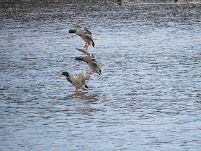 Photo: Priorslee Lake 3 drake Mallard touching down. (Ed Wilson)
