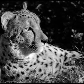 Cheetah by Dave Lipchen - Black & White Animals ( cheetah )