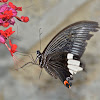 Butterfly - Male