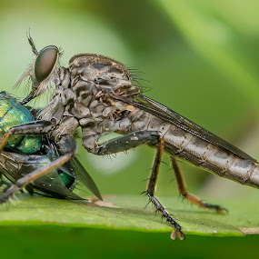 Eating by Raden Bagus Paijo - Animals Insects & Spiders ( macro, insect, makro, robber fly, robberfly )