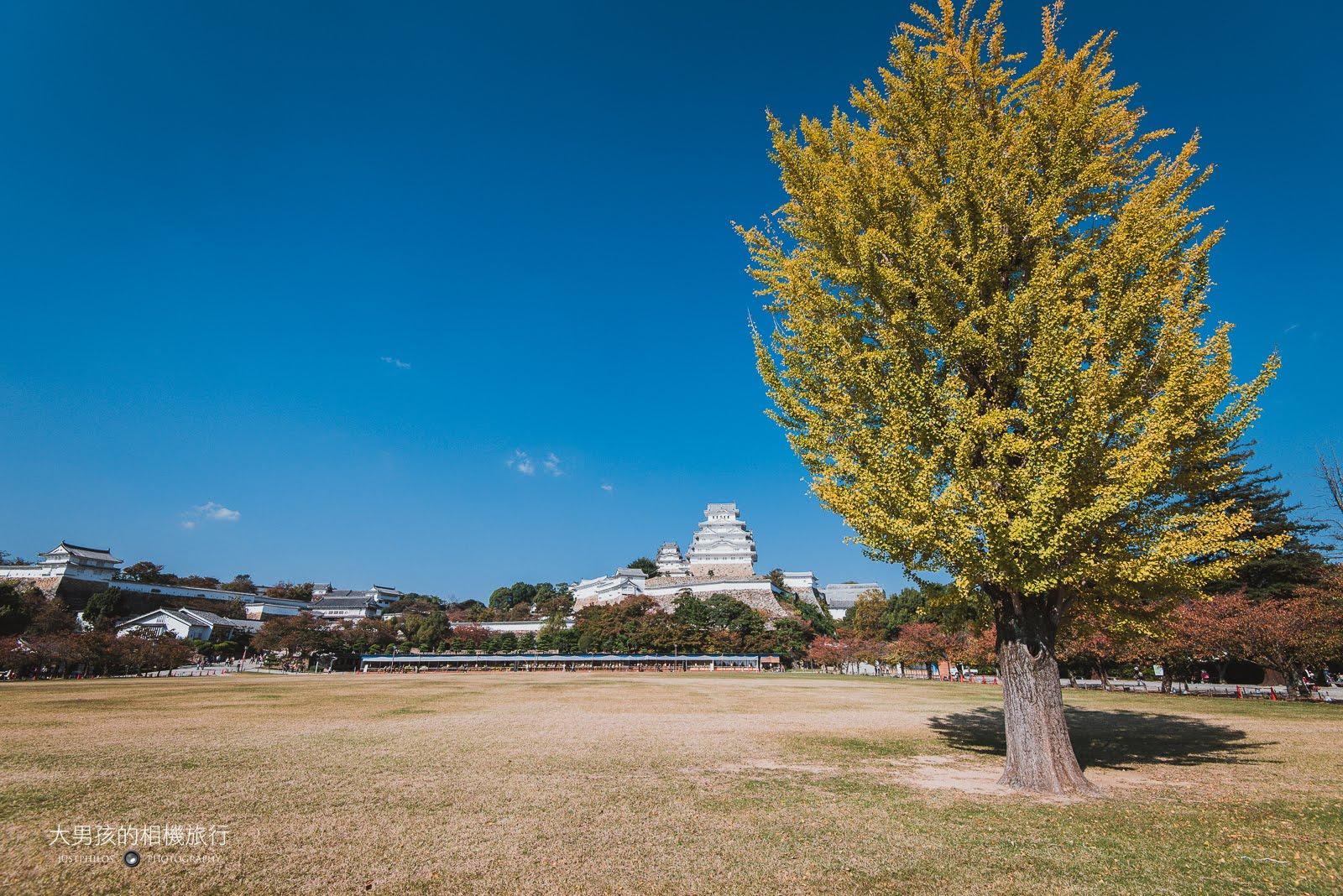 姬路城園內的大草坪,巨大的銀杏樹非常吸睛,只可惜還沒有到很黃的時候。
