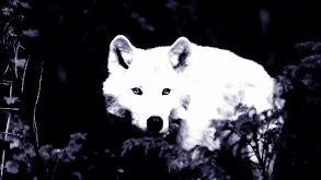 White Wolf of Newfoundland thumbnail