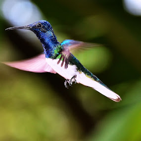 Humming Bird by Edison Pargass - Animals Birds