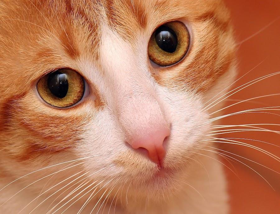 by Milan Kovač - Animals - Cats Portraits ( cutest cats )