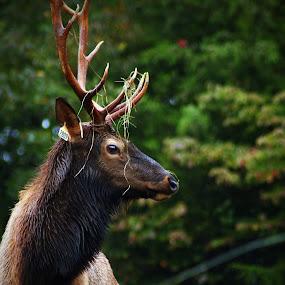 Bull Elk by John Ireland - Animals Other