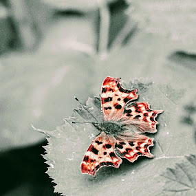 Comma butterfly, partial red by Arif Burhan - Animals Insects & Spiders ( red, butterfly )