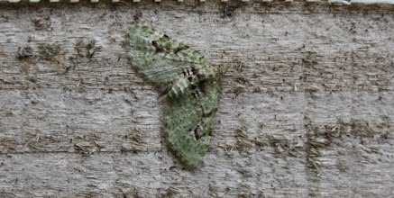 Photo: Chloroclystis v-ata    Lepidoptera > Geometridae