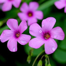 by Biljana Nikolic - Flowers Flowers in the Wild (  )