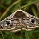 Small emperor moth ♀