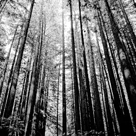 Armstrong Woods #2 by Barbara Brock - Nature Up Close Trees & Bushes ( forest, black and white trees, large trees, redwood forest, woods )