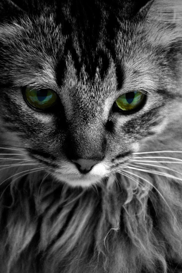 by Chandal Chenier - Animals - Cats Portraits ( cat )
