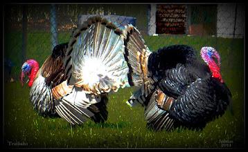 Photo: Truthahn - Wild Turkey