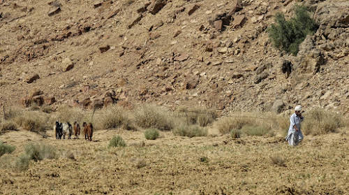 Thar. Desert Camel Trekking Day 3. Man taking care of his herd of goats