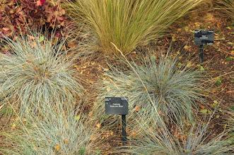 Photo: Festuca 'Siskiyo Blue' in de grassentuin van Kew