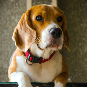 Look There by Israel  Padolina - Animals - Dogs Portraits ( animals, beagle, rest, dog, portrait )