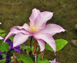 Photo: Clematis 'Morning Star' - 'Zoklako' - Patens group
