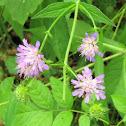 Forest Widow Flower
