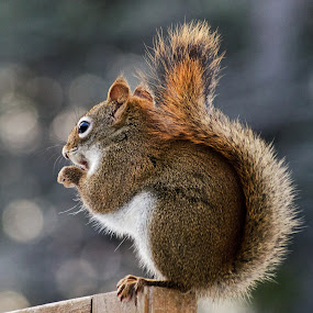 Tail Wrap by Jeff Galbraith - Animals Other Mammals ( fence, wooden, red, furry, cute, rodent, tail, close-up, squirrel )