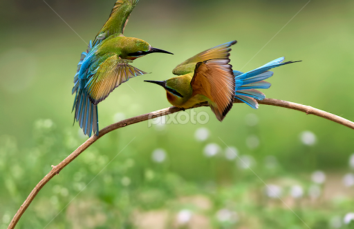 Blue Tailed Bee Eater Migration Blue Tailed Bee Eater by Shyam