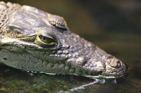 Description: Crocodylus moreletii.jpg