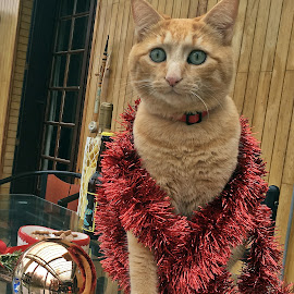Henry by Dobrin Anca - Public Holidays Christmas ( cat, tree, green, brittany, garden )