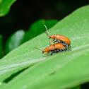 Lema rufotestacea 褐負泥蟲