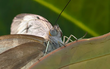 Photo: Oh man. Did you see those eyes!? This is a Great Southern White (Ascia monuste)  Photo by Don Williamson Photography