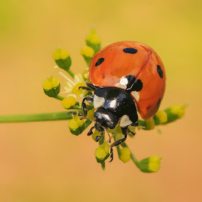 Ladybug by Brandon Downing - Animals Insects & Spiders ( nature, colorado, wildlife, bug, ladybug, insect, bokeh )