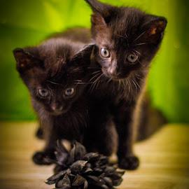 Twin Brothers  by Sissy Johnson - Animals - Cats Kittens ( newborn shoot, kittens, portraits, cute, black cat )
