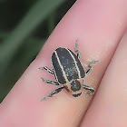 Sesbania Stem-boring Weevil