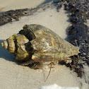 Thinstripe Hermit Crab