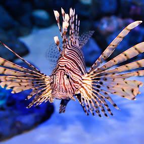 Lionfish by Rouslan Podroutchniak - Animals Sea Creatures
