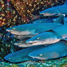 Photo: Whitetip Reef Sharks, Socorro Islands, Mexico