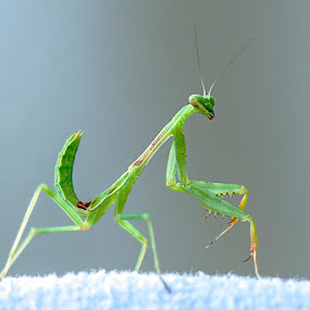 Praying Mantis by Johannes Bichmann - Animals Insects & Spiders