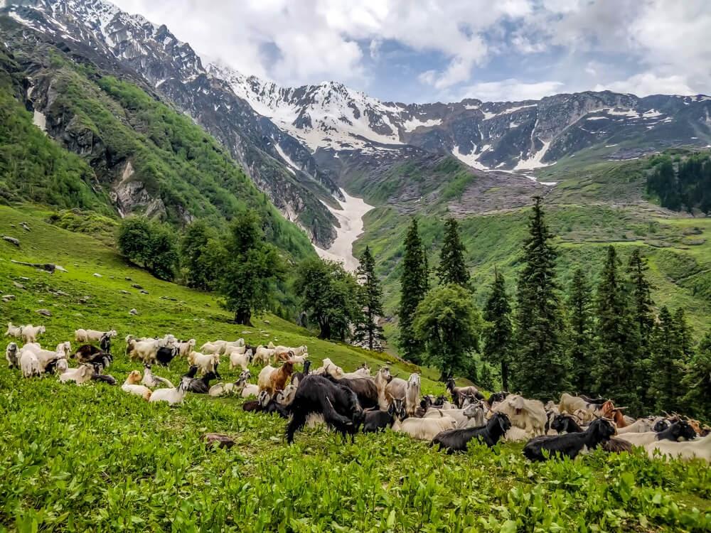 bunbuni+to+khirganga+trek+sheep+parvati+valley+himachal.